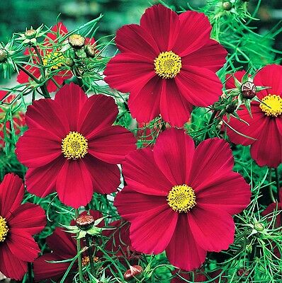 Cosmos Versailles Red, 30 Seeds, Stunning plant, Great cut flower