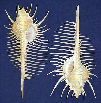 "(1) Venus Comb Murex Pecten Shell ~ 4"" - 4-1/2"" Seashell Craft Supply"