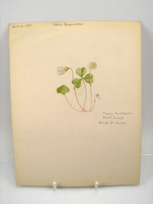 Antique early 20th century watercolour painting still life flower Wood Sorrel
