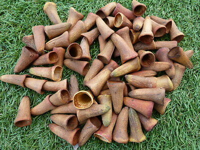 77 Platypus Gum Nuts ~ Ideal as Gnome Hats or witch nails :) with Craft