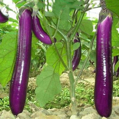 700PC Purple Long Eggplant Organic Vegetable Seed Home Garden Plant