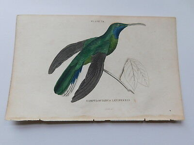 Antique hand-coloured copperplate engraving, hummingbird, by William Jardine