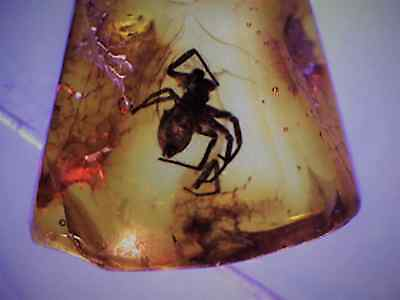 FOSSIL SPIDER IN BALTIC AMBER  [S7620] fossils insects spiders