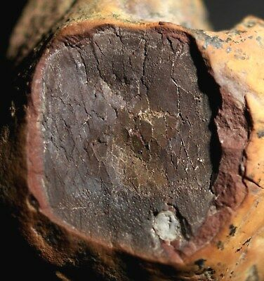 Very Rare Mazon Creek like nodule fossil scale with a broken fossil tooth in it