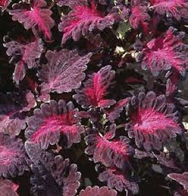 50+ Coleus Black Dragon Flower Seeds / Long Lasting Annual
