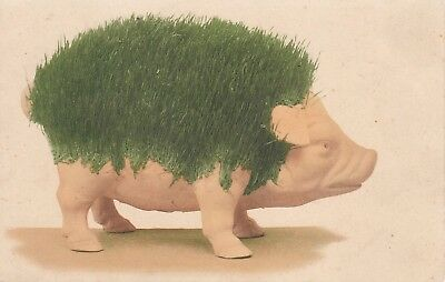 OLD GREAT UNUSUAL POSTCARD PIG WITH GRASS GROWING ON IT 1st  CHIA PET VERY RARE