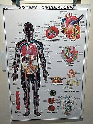 Medical poster Spanish, anatomy education teaching school biology training heart