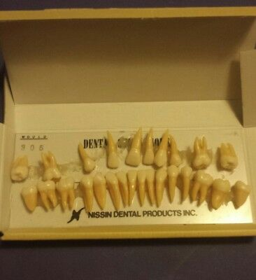 Dental Teeth Study Model Nissin Hygiene Adult Morphology B3-305(32S)