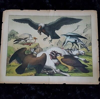 RARE Antique 19th c VULTURES PREYING ON HORSE Large COLOR Lithograph PRINT 1800s