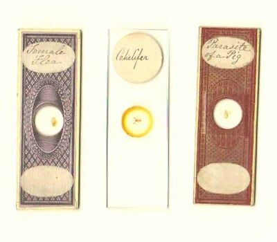 Microscope Slides: Insects
