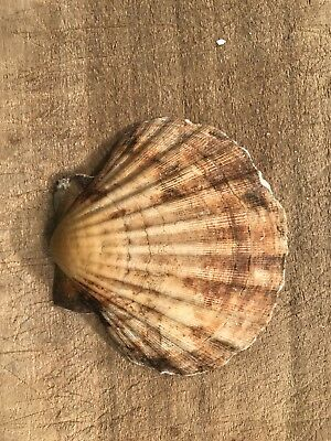24 Large Scallop Shells 12-13cm