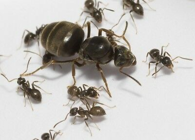 Live Queen ants AntsRus Lasius niger with brood and 5-15 workers (starter kit)