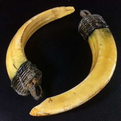 Real 2 BOAR Wild Pig Teeth Fang Pendant Thai Power Amulet Antique Holy Beast
