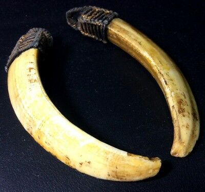 Holy Real 2 Wild BOAR Pig Teeth Blessing Thai Amulet Fang Animal Beast Power