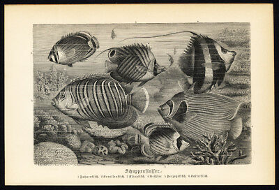Antique Print-BUTTERFLY FISH-Brehm-1890