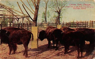 Vintage Postcard Buffalo Herd Lincoln Park Chicago IL Postmarked 1911
