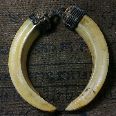 Real Solid 2 Pig Teeth Hog Boar Fang Thai Amulet Lucky Pendant Magic Power