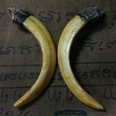 Magic Real 2 Wild Boar Pig Hog Teeth Solid Thai Amulet Powerful Pendant LP Pern