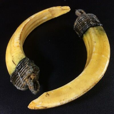Real 2 Wild BOAR Pig Teeth Thai Holy Power Bless Pendant Tooth Fang Amulet Magic