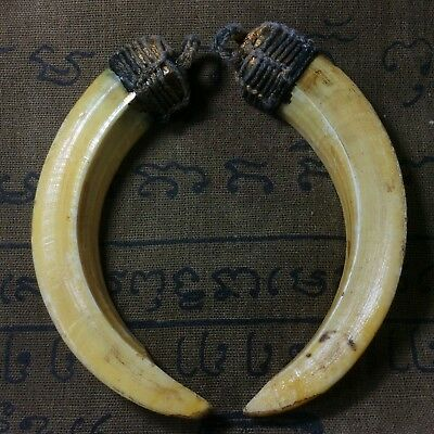 Thailand Amulets Real 2 Wild Boar Pig Teeth LP Pern Blessed Power Lucky