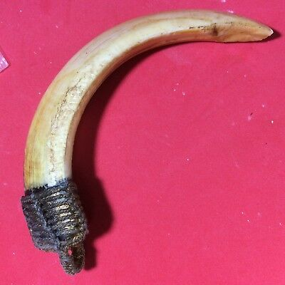 Real Wild Boar Power Pig Tooth Thai Amulet Pendant Powerful Fang Hog Magic z 4