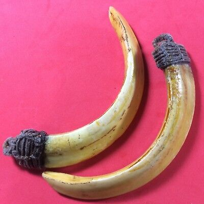 Real Wild BOAR 2 Pig teeth Fang Pendant Thai Power Amulet Antique Bless Tooth