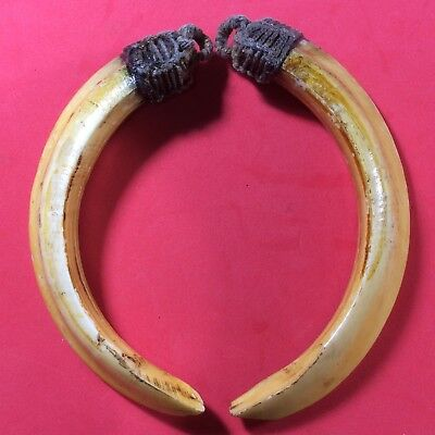 Real 2 Pig Teeth Pendant BOAR Tooth Amulet Thai Power Lift Protect Holy Talisman