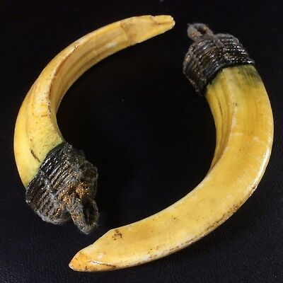 Real 2 Wild Boar Pig Teeth Thai Holy Pendant Tooth Bless Power Amulet Talisman