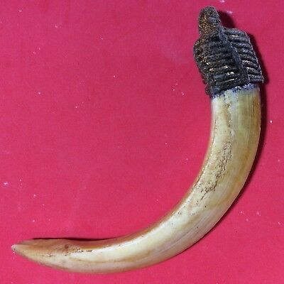 REAL WILD BOAR Tooth Pig Hog Fang Thai Holy teeth Amulet Power Life Protect