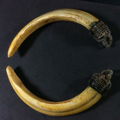 Takrut Real 2 Wild BOAR Pig Teeth Thai Amulet LP Pern Power Fang Pendant er6