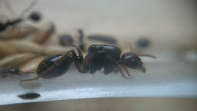 Live Queen ant Messor barbarus Harvestor ant Black head with eggs (starter kit)