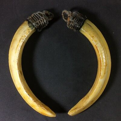 Takrut Real 2 Wild BOAR Pig Teeth Thai Amulet LP Pern Power Fang Pendant er1