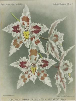 Print Plate from 'Dictionnaire Iconographique des Orchidees' - Odontoglossum Cri