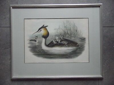 Gould and Richter Great Crested Grebe H/Col Lithograph. Podiceps Cristatus