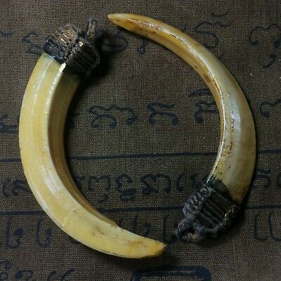 Real 2 Wild Boar Pig Hog Teeth Solid LP Pern Blessed Thai Amulet Powerful Lucky