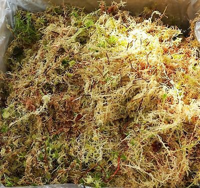 Sphagnum Moss 2 Kilo  +10% extra free live moss- handpicked so fresh when posted