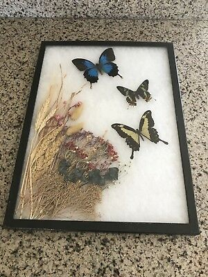 3 Vintage REAL BUTTERFLY Framed Specimens Blue Emperor/Sunset Moth/Swallow Tail