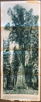 """National Geographic April 1916 Insert Oldest Living Thing 10"""" x 25"""""""