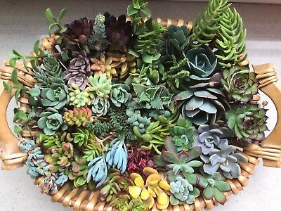SUCCULENTS 20 x succulent cuttings, freshly cut  - No repeat cuttings
