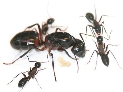 Camponotus ligniperdus queen with eggs/brood