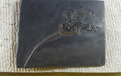 """5"""" Fossil CRINOID Sea Lily Germany"""