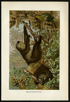 Antique Print-TWO TOED SLOTH-Brehm-1890