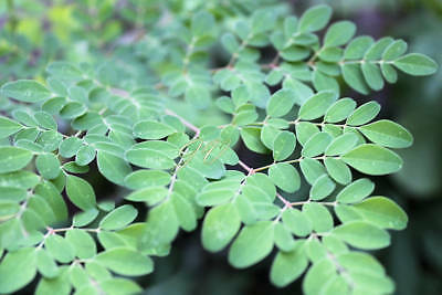 Moringa oleifera PKM 1- Fast Grower White Flowers Tropical Seeds for Planting