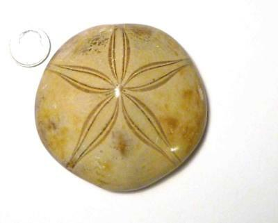A+ Excellent Clypeasteroid Fossil Perfect Star Sand dollar 2 3/4""