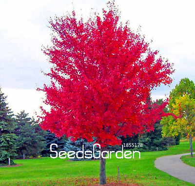 100 Pcs Seeds Red Japanese Maple Plants Tree Bonsai Garden Decor Home NEW 2018