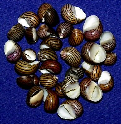 "Black & White Striped Zigzag Snail Nerite Communis Shells 3/4""- (10/25/50 Pcs)"