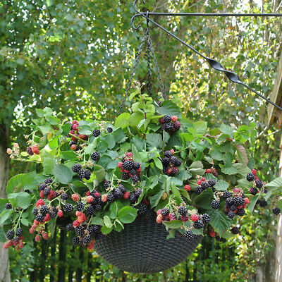 Blackberry Black Cascade 9cm Trailing Fruit Bush