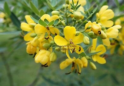 Cassia occidentalis Coffee Senna Seeds Small Evergreen Butterflies & Hummingbird