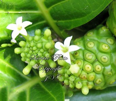 Indian Mulberry Rare seeds Tropical Plant Morinda citrifolia Container-Standard