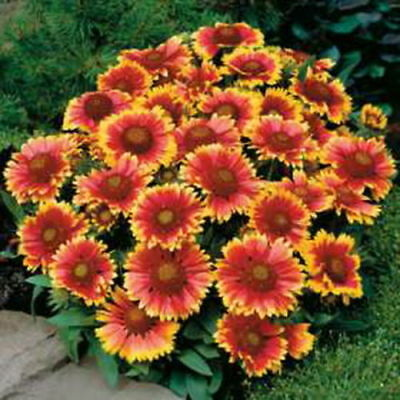Blanketflower Mix - Gaillardia Aristata (90 Seeds) Perennial Flower!